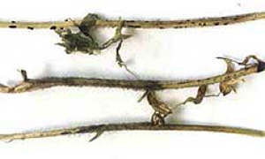 Photo of 3 lentil stems with advanced infection by Botrytis cinerea, there is formation of sclerotia by the fungus for survival.