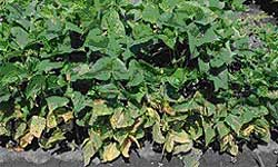 Bean plants with yellowing lower leaves