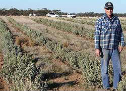 Newly sown saltbush in the Wimmera, on the property of John McIntyre at Cannum