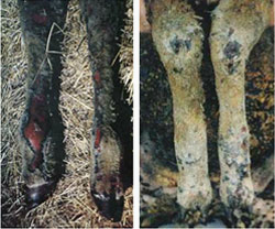 2 images. Close-up of severely burnt sheep's legs