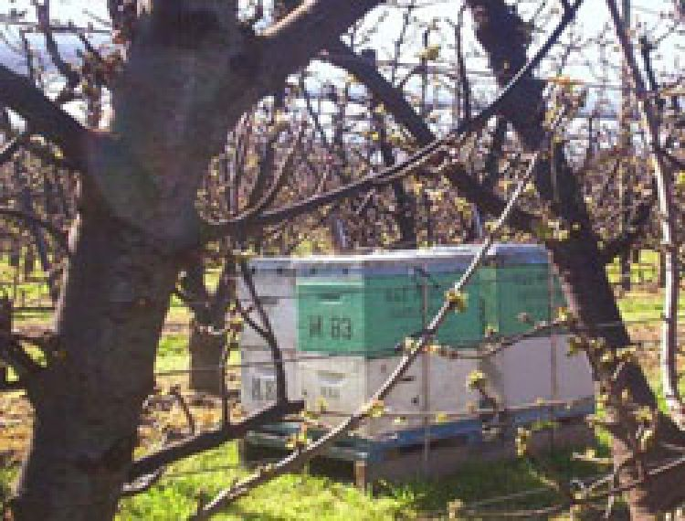 Beehives located in an orchard. Note the Beekeeper's name and contact details (including landline and mobile phone number) on the hives