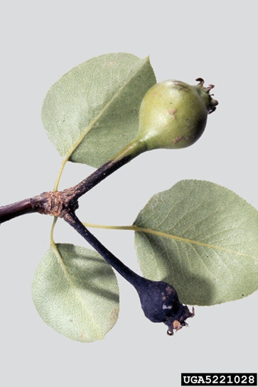 Fire blight on pear fruitlet, showing blackened fruit with ooze
