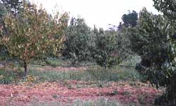 Orchard with tree missing from row and a tree with yellowing leaf symptoms of Armillaria root rot