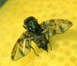 Adult Mediterranean fruit fly