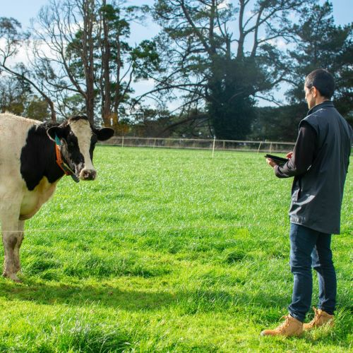 Scientist using tablet to record information on behaviour of animals grazing at Ellinbank SmartFarm