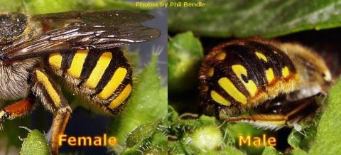 Female and male european wool carder bees