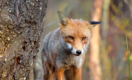 Red fox standing by tree