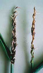 Photo two infected wheat ears, one with florets full of black spores, the other, a bare stalk.