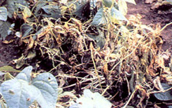 Beans plants in the field showing initial symptoms of watery-brown soft rot on stems and leaves