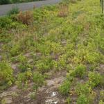 Prairie ground cherry infestation