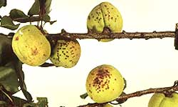 Fruits with clusters of dark spots
