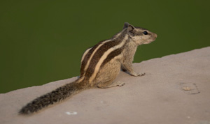 Brown and golden striped squirrel