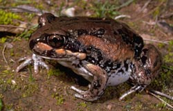 Brown and black striped frog with white belly
