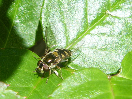 Fly with yellow striped back on green leafy plant