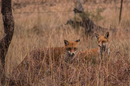 2 red foxes in long grass