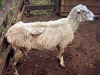 Very thin sheep in a fenced yard