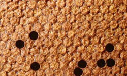 A healthy capped brood, toasty brown colour