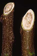 Brown stained xylem tissue in shoots from an infected tree