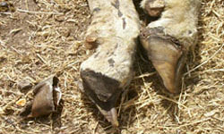 Close-up of a sheep's hooves. The bone has come away from one of the hoofs and is laying separately on the ground