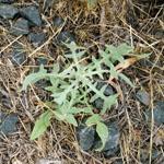 St Barnaby's thistle seedling rosette