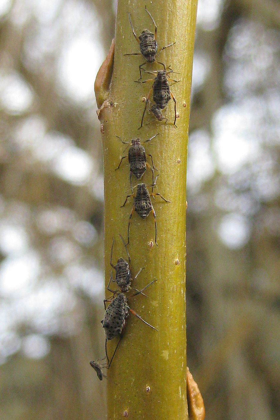 Giant willow aphids feeding on a willow stem