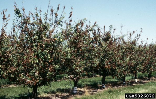Fire blight on Malus 'Honey Gold' in a Minnesota orchard