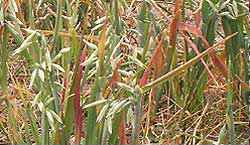 Photo of oats with characteristic reddening from the tips.