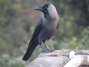 Black and grey bird standing on concrete ledge