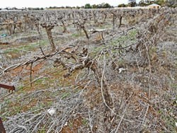 Dead vines in vineyard