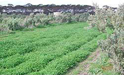 Saltbush growing in between rows of green pasture in Western Australia
