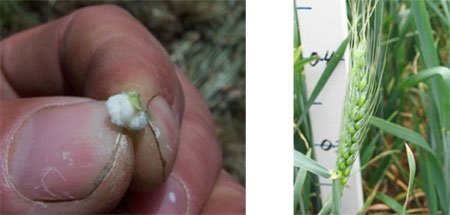 Two images. First image shows a close-up of a hand holding milky-white grain. Second image shows wheat plant with ear