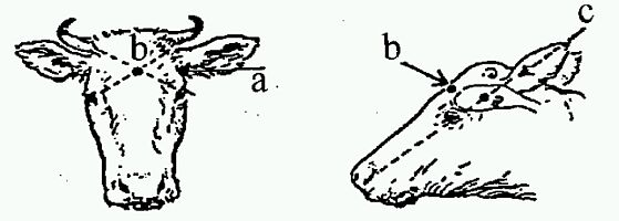 Diagram showing the position to shoot cattle as described in previous text