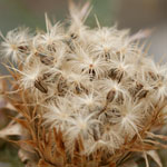 Feathery seeds of Illyrian thistle