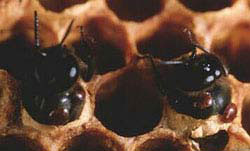 Bee brood cell in hive with adult Varroa and offspring in the cell