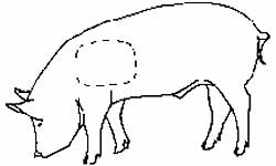 Diagram of a pig showing the left shoulder area where tattoo brands should be placed