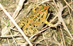 Pale coloured frog with green blotches and an orange tinge