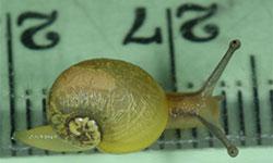 Green snail hatchling on a ruler