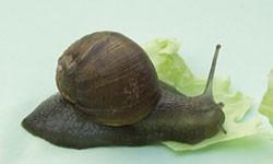 Adult green snail on a lettuce leaf.