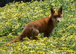 Wild fox standing in a field of daisies