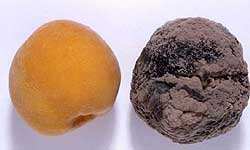 Brown rot infected canning peach next to a healthy peach