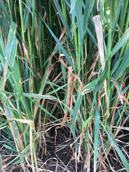 Long green and curly brown oat leaves