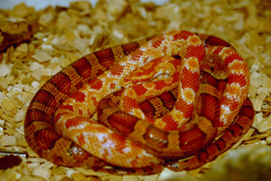 Two curled up orange and copper coloured snakes