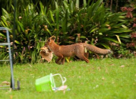 Red fox with prey in a back garden
