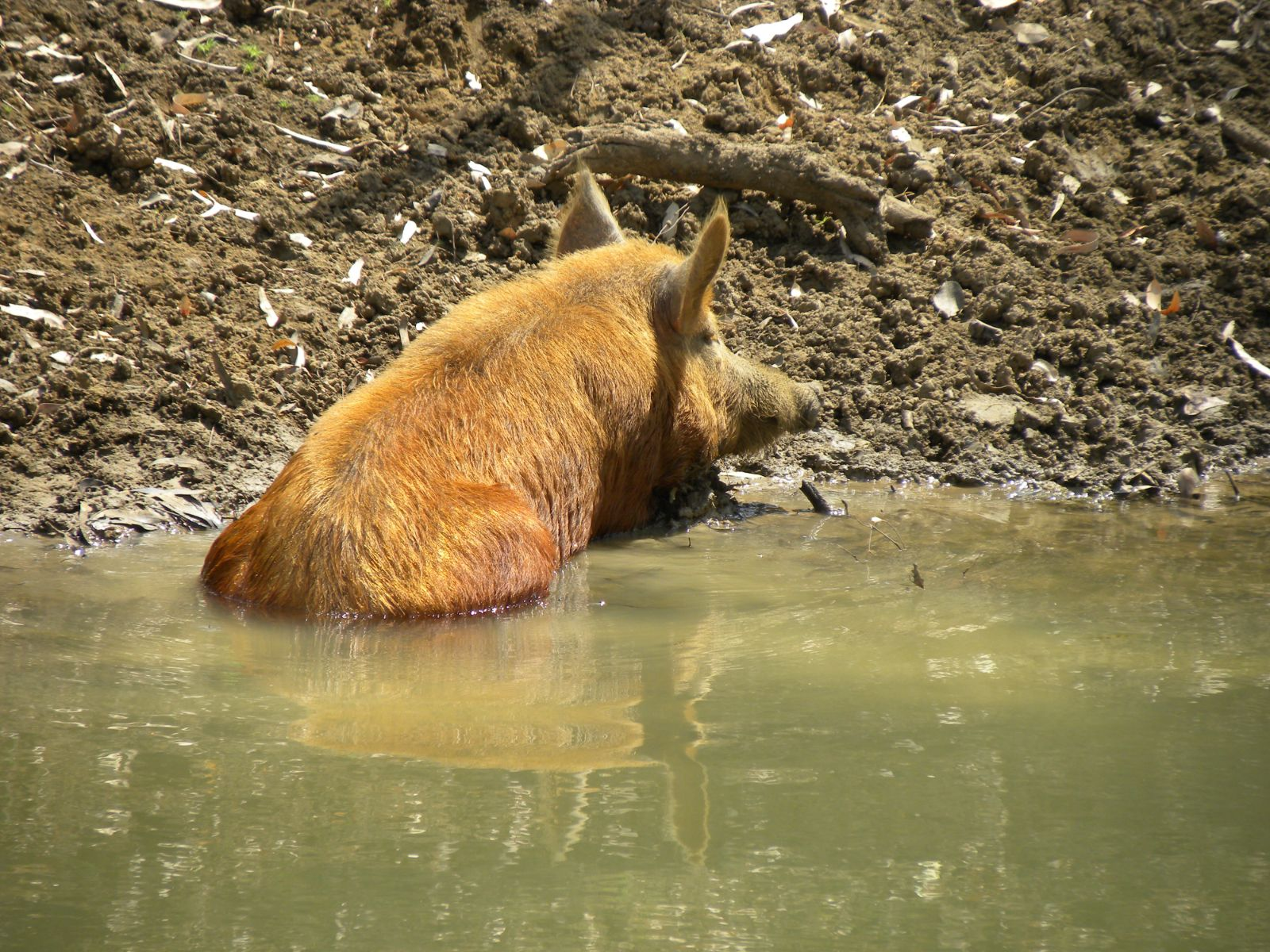 Feral pig wallowing at the waters edge