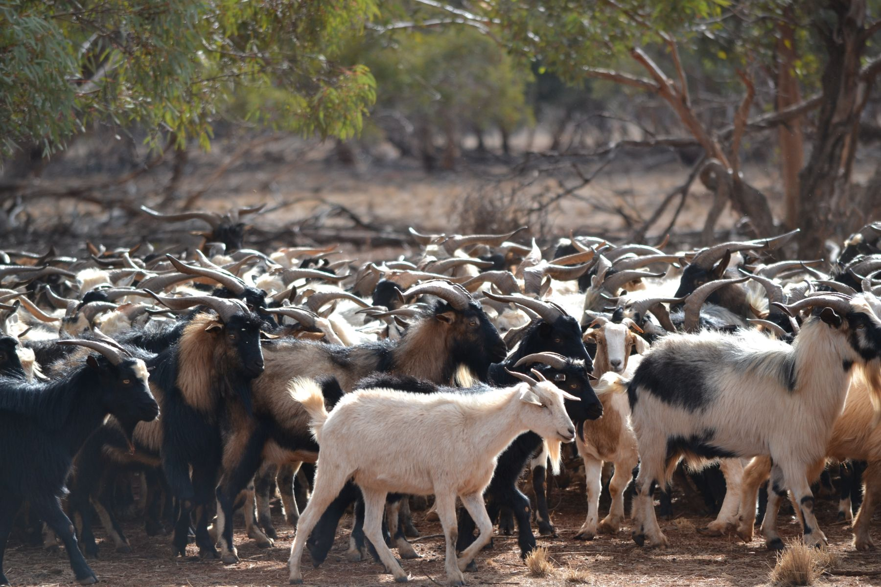 Large herd of goats being mustered.