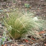 Serrated tussock plant