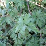Green blackberry leaves