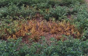 Photo of an infected, brown, patch of plants in a healthy, green crop