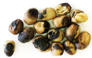 Photo of faba bean seeds with with yellowish-brown stains, late infection of ascochyta blight.