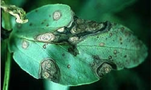 Photo of leaf with dark grey lesions caused by ascochyta on faba bean